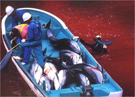 taiji dolphin killing speech The japanese dolphin slaughter at taiji is an exercise in wilful sadism, writes joshua frank but responsibility for the killing spreads much wider than japan, with captive cetaceans from taiji reaching aquaria around the globe - including seaworld perhaps dolphins symbolize real freedom - freedom.