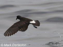 European Storm-petrel, Lyme Bay, 23/07/10