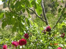 Göktepe gülleri