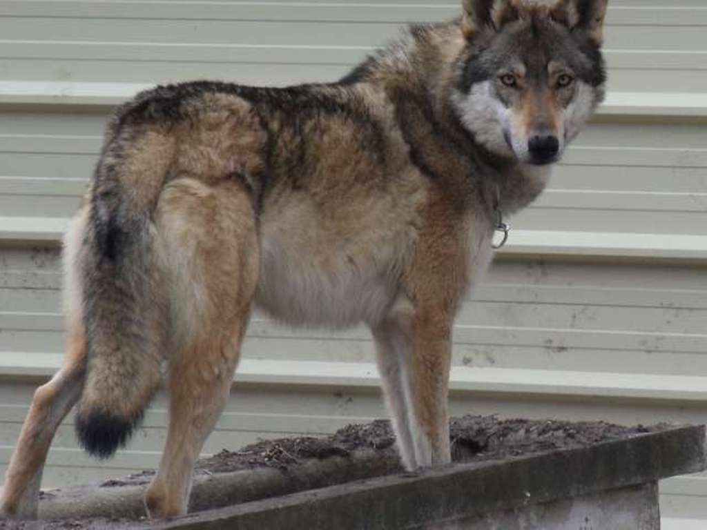 "Other ""wolfy-looking"" (uncommon) Dog Breeds - Page 3 ..."