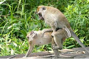 Los huevos de faberjet Macacos+2