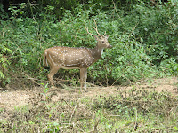 Deer in Bandipur Forest