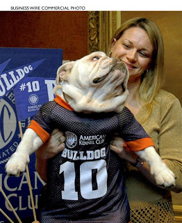 this bulldog put a jersey on