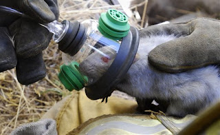 rat on oxygen