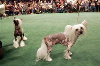 my least favorite dog breed, the Chinese crested