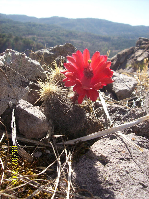 Flor de cactus en la Sierra Madre Occidental