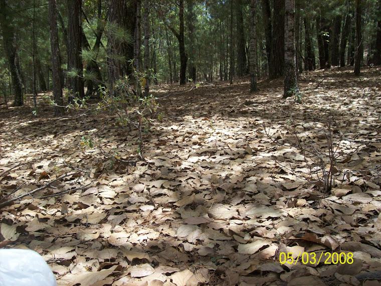 Hojarasca del bosque de pino en Surutato