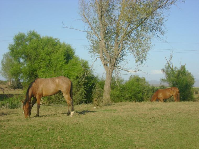 Equinos pastando en Quilá, municipio de Culiacán