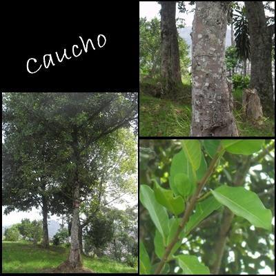 Plantas ornamentales del instituto agropecuario veracruz for Plantas ornamentales croto