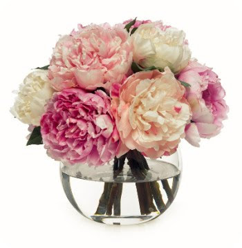 White light pink and fuschia peony in full bloom Photo credits