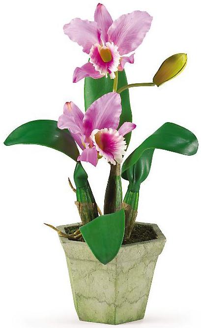 Cattleya orchid chillapple group international hobbies for Orchidea cattleya