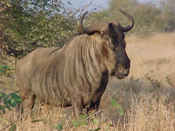 Wildebeest Animal