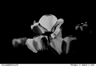 Fotografia di tulipani in bianco e nero. Tulipani bianchi su sfondo completamente nero. Macchina fotografica Canon EOS 10D, ottica canon ef 70-300 stabilizzata