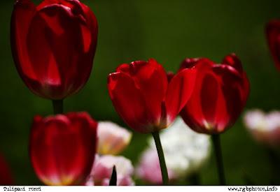 Fotografia di grupo di tulipani rosso fuoco. Macchina fotografica Canon EOS 10d, ottica Sigma 70-300mm f/4-5.6 APO