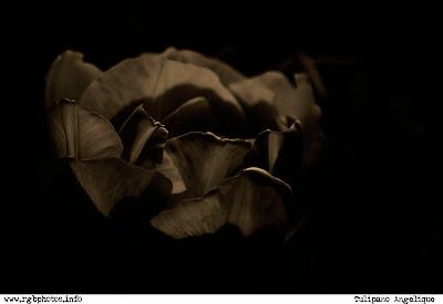 Fotografia di tulipano angèlique - Bianco e nero e viraggio seppia con photoshop - Macchina fotografica Canon EOS 10d, ottica Sigma 70-300mm f/4-5.6 APO