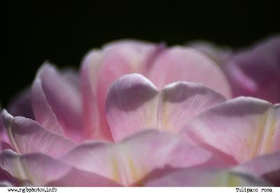 Fotografia di tulipano angelique rosa su sfondo nero, macchina fotografica Canon EOS 10d, ottica Sigma 70-300mm f/4-5.6 APO