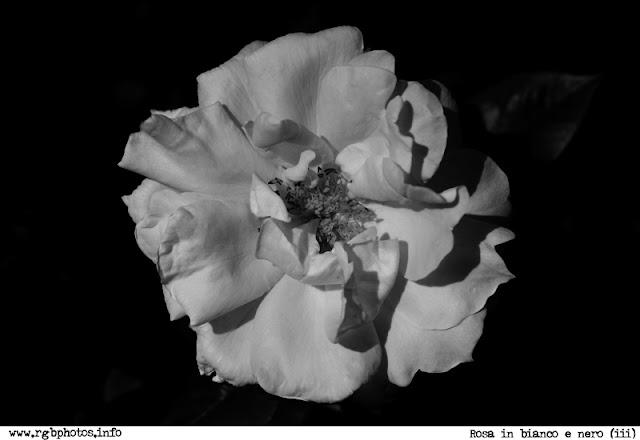 Fotografia in bianco e nero di fiore di rosa (Bella di Todi di Barni)