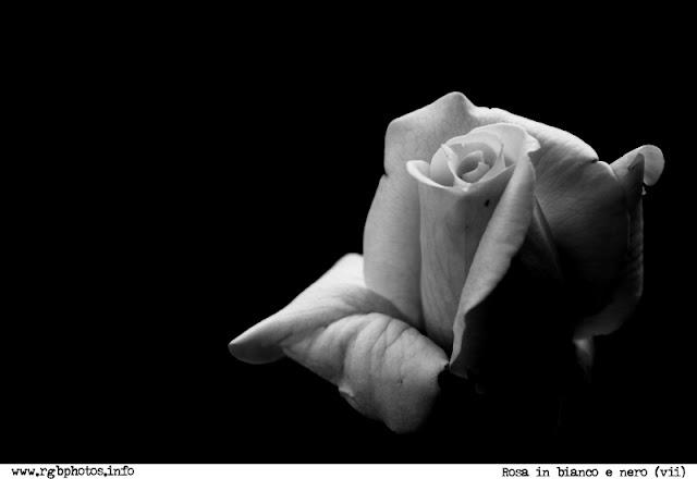 Fotografia in bianco e nero di rosa