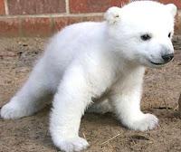 Rape of the Arctic: polar bears and other Arctic species endangered by development, global warming