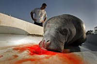 Toxins the water due to man, and the manatee pays