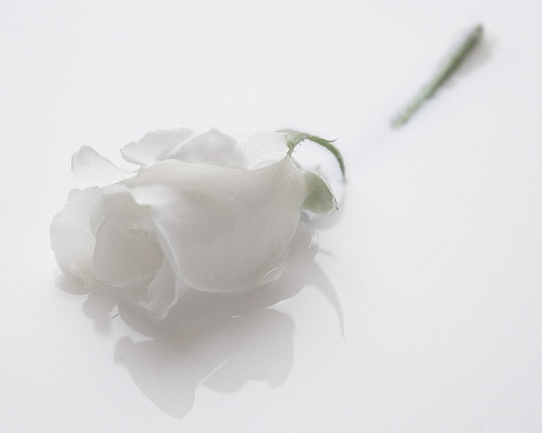 single white rose wallpaper. wallpaper flowers rose.