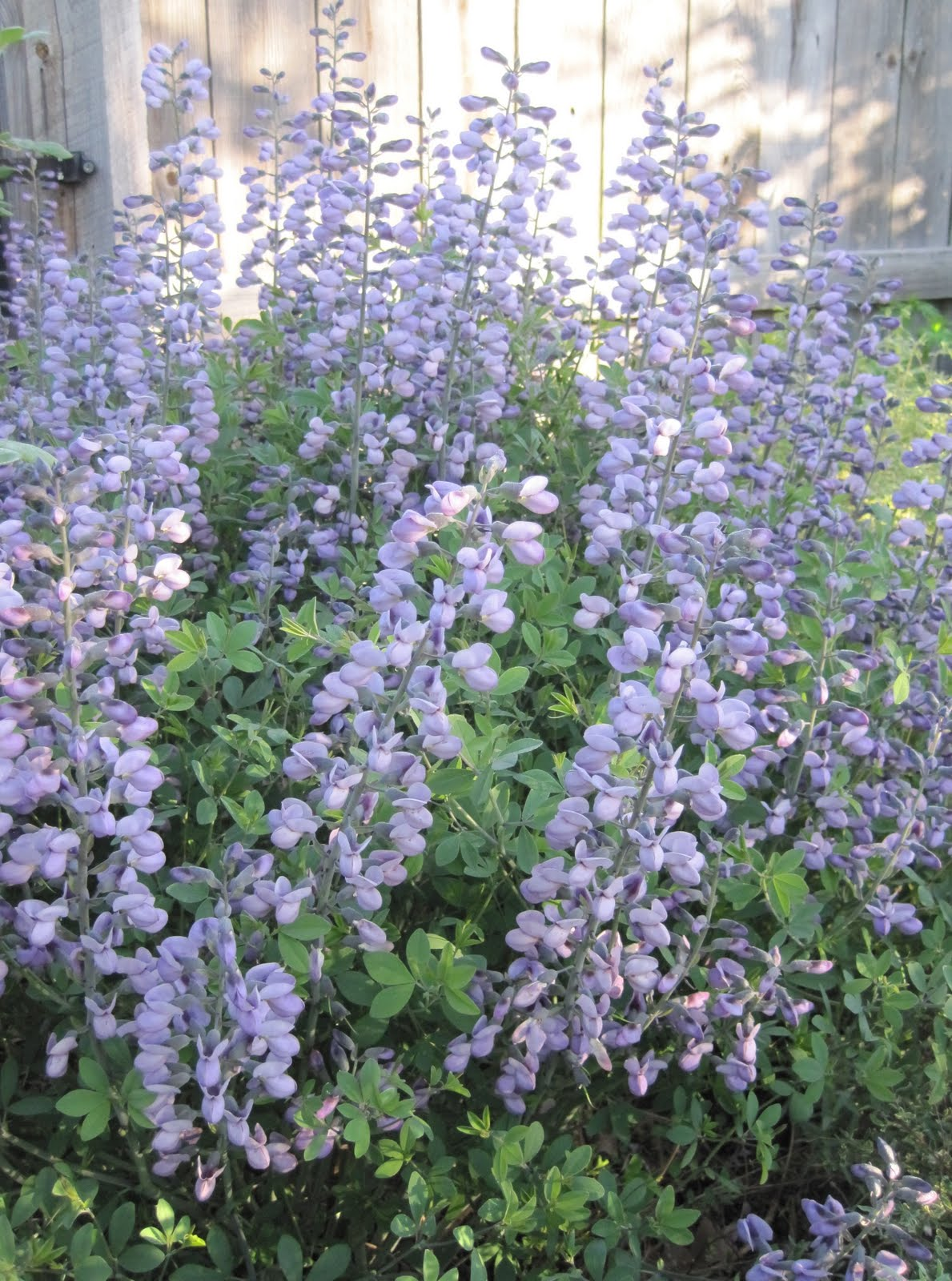 May Dreams Gardens: Baptisia