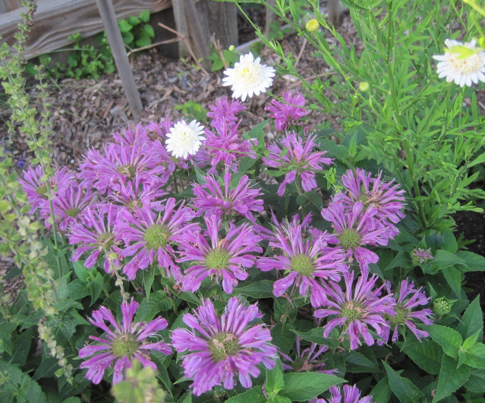 Wildflower Wednesday Monarda