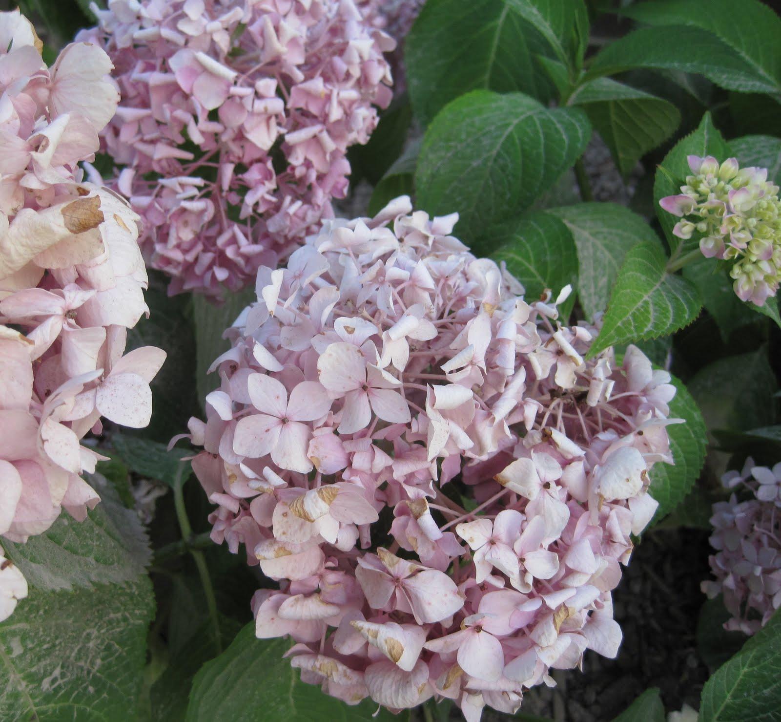 Garden Design Update Dust The Hydrangeas By The New Patio