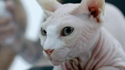Bad Romance Gato sem pêlos