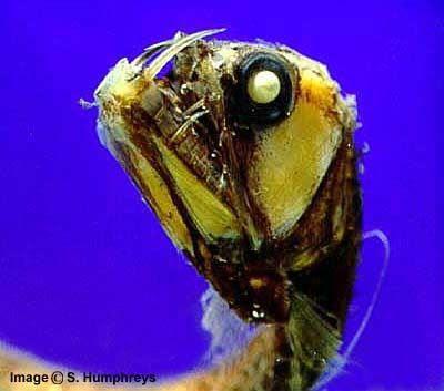 Peces Monstruosos