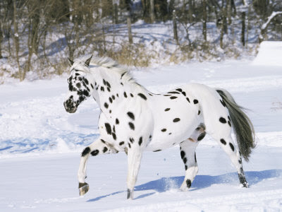 Blaze King (really beautiful stallion for sale!) 1130887~Appaloosa-Horse-Trotting-Through-Snow-USA-Posters