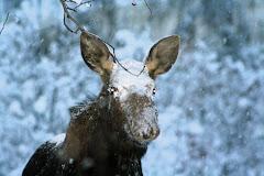 Snow Moose