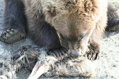 Grizzly Chowing on a Moose Leg