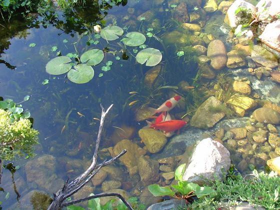 Estanques y cascadas construir el estanque for Peces pequenos para estanques de agua fria