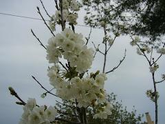 Mi cerezo en flor