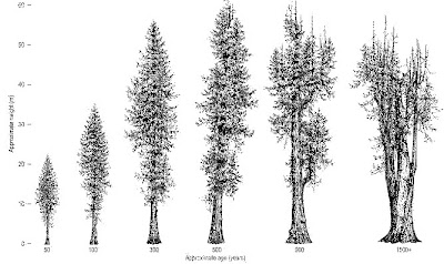 Cedars: Old Timers Of The Ancient Forest