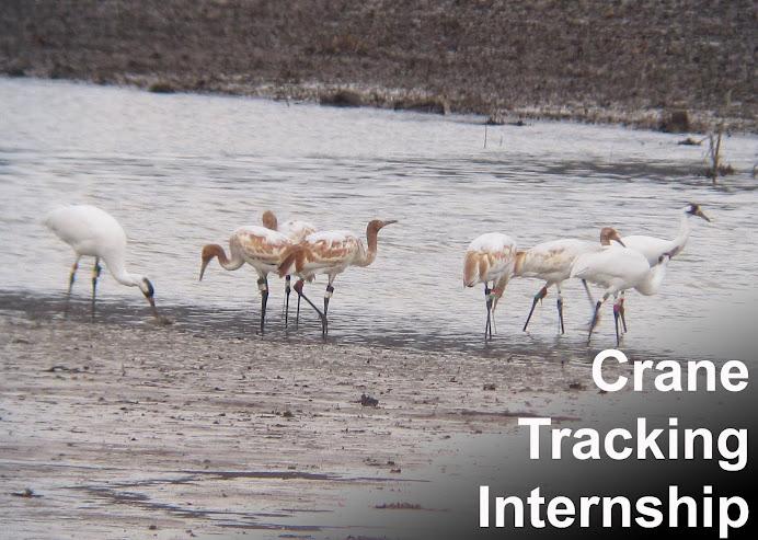 Crane Rearing Internship