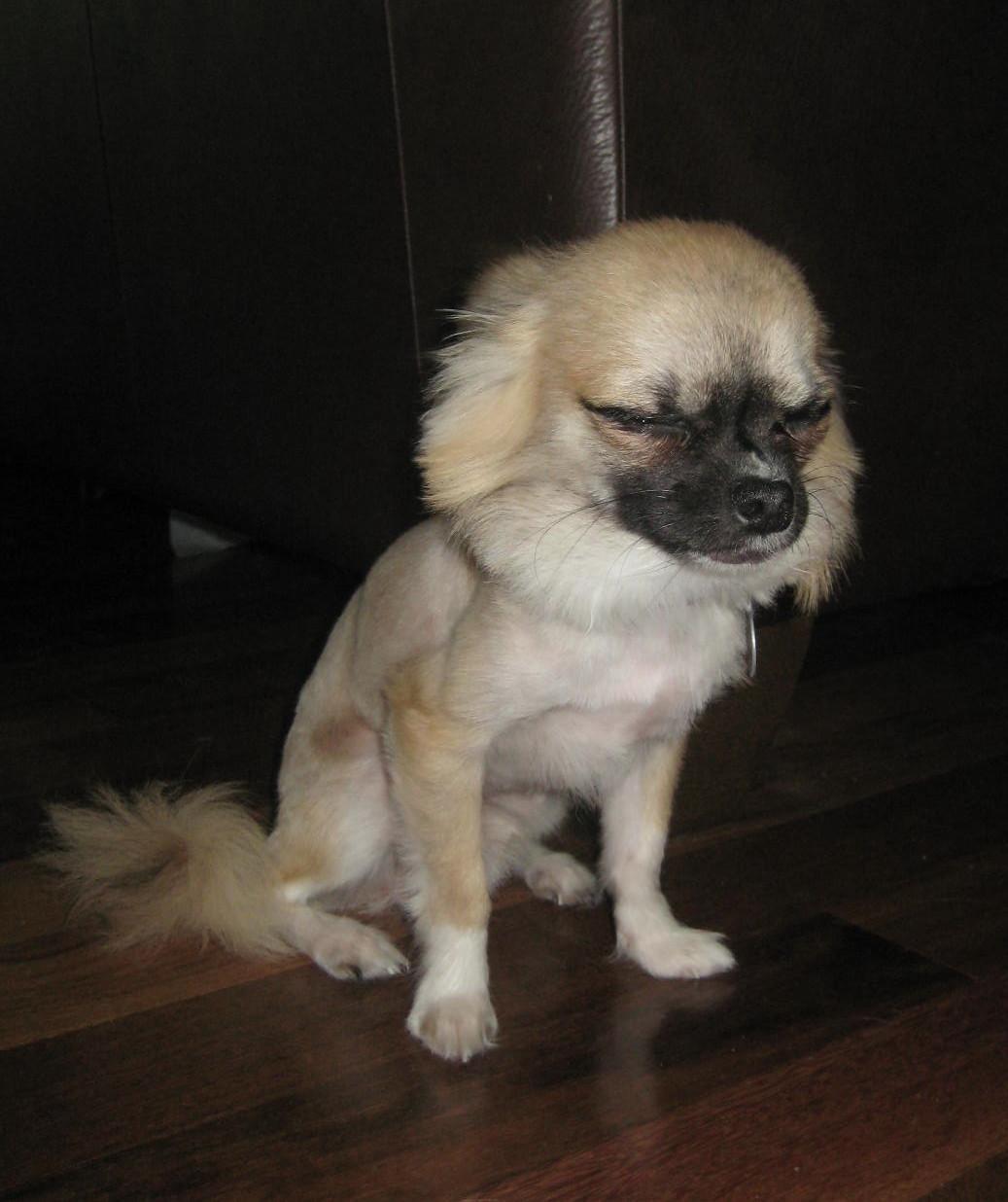 Chihuahua Crazy Daze: Summer Haircuts