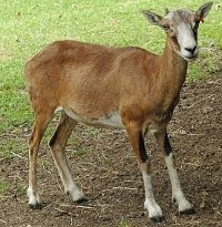 A female mouflon, perhaps similar to early sheep?