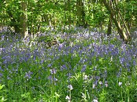 Bluebells at Moggerhanger Park