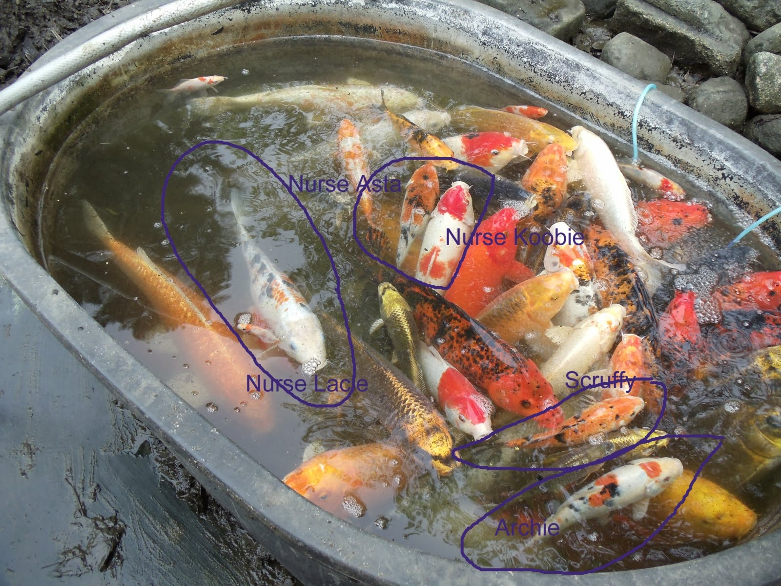 Ane ane tok koi babies and archie scruffy are fathers for What to feed baby koi
