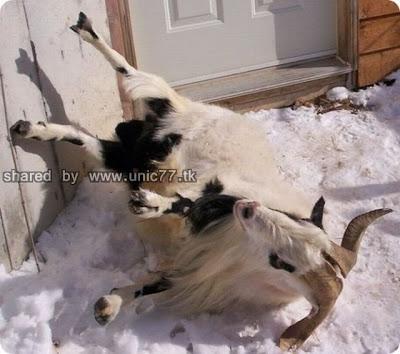 fainting_goats_640_03.jpg (640×566)