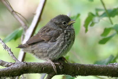 Image result for Baby Sparrow
