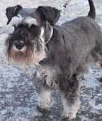 Isa, my wonderful miniature schnauzer: