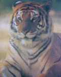 TIGRE
