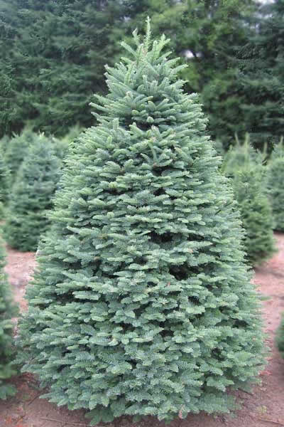 Image for Douglas Fir Christmas Tree