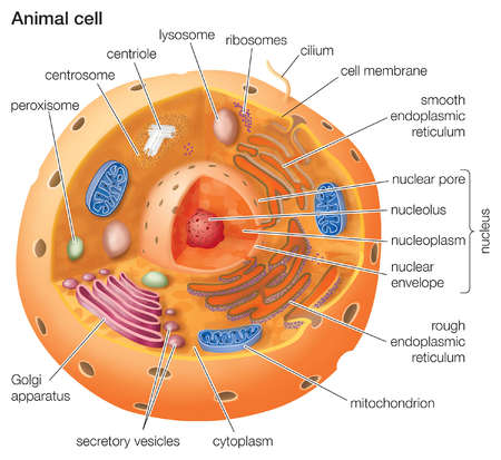 The cell is the functional basic unit of life it was discovered by