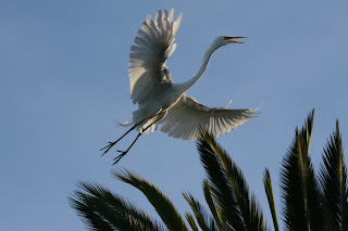 大白鷺 (Great Egret)