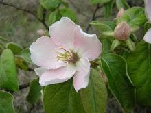 Walnut. La flor del nogal