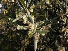 Olive. La flor del olivo